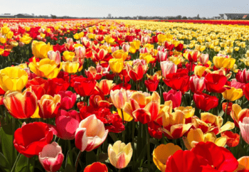 Netherlands Embassy Plants 100,000 Tulips to Commemorate Heavenly Hundred Heroes